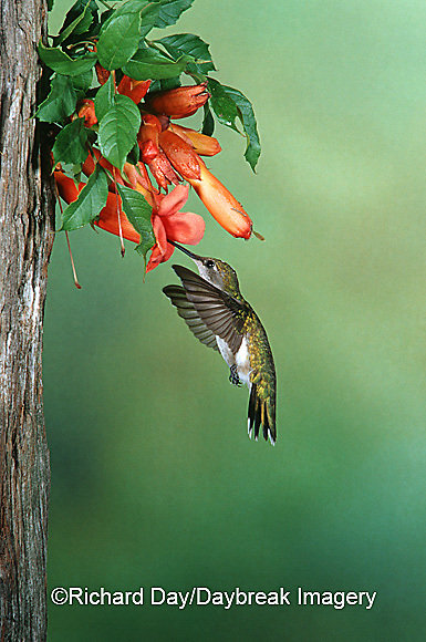 01162-06506 Ruby-throated Hummingbird (Archillochus colubris) female on Trumpet Creeper (Campsis radicans) Shelby Co. IL
