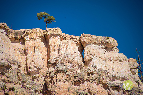 Mossy Cave, Bryce Canyon National Park. Utah. Bristlecone pine tree.