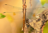 389300002 a wild evening skimmer dragonfly tholymis citrina perches on a small branch at santa ana national wildlife refuge rio grande valley texas united states