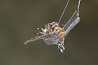 389030008 a wild male gray sanddragon progomphus borealis is trapped in an orb weaver possibly neoscona web  near a small hot springs in inyo county california