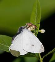 Ambush Bug attacks Cabbage White butterfly; Phymata; Pieris rapae;  PA, Philadelphia, Schuylkill Center