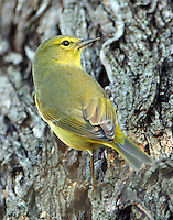 Adult orange-crowned warbler