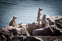 California Ground Squirrels pose on the rocks at the San Leandro Marina.