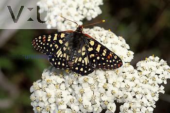 Common Checkerspot Butterfly ,Occidryas chalcedona, Montana de Ora State Park, California