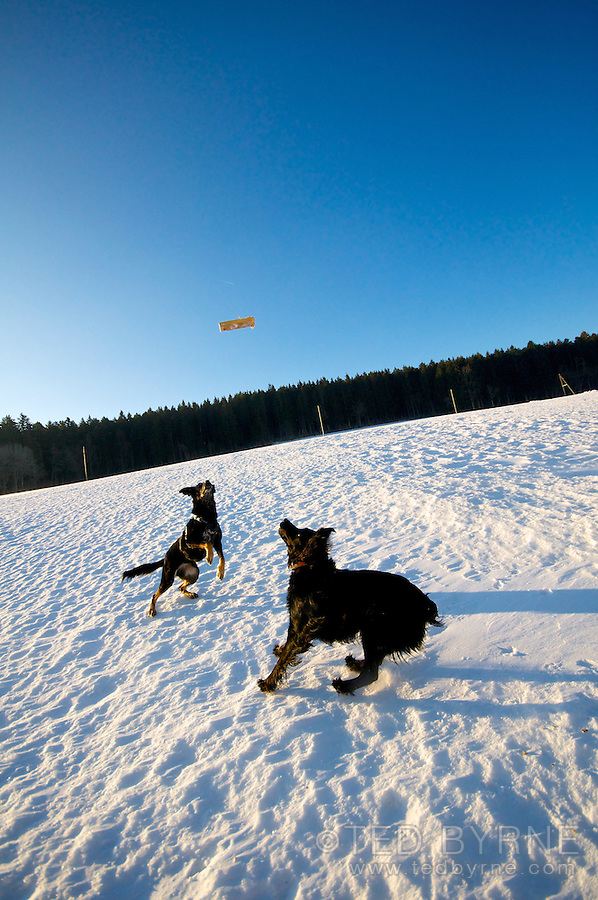Dogs chasing stick on snowy hillside