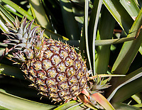 2018 02 17 Fields of tropical pineapple