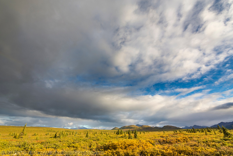 Autumn yellows of the tundra vegetation color the landscape in Denali National Park, Alaska.