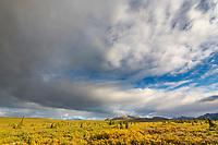 Autumn yellows of the tundra vegetation color the landscape in Denali National Park, Alaska.