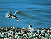 DIGITAL COMPOSITE:  Arctic tern adults feed newborn chick along the shores of Naknek lake, Katmai National Park, Alaska