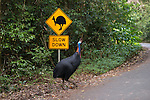 The Southern Cassowary crossing a cassowary interpretive signage. The Southern Cassowary, also known as the Double-wattled Cassowary (family Casuariidae), is native to the tropical forests of New Guinea, nearby islands and north eastern Australia. The name cassowary comes from the Malay name kesuari. The cassowary is the largest avian frugivore in the world. Cassowaries are striking in appearance, with a tall brown casque (helmet) on top of their head, a vibrant blue and purple neck, red wattles and glossy black plumage. The purpose of the casque is unknown and hypotheses include that it indicates dominance, protects the bird&rsquo;s head when running through the forests, or aids cassowaries in hearing the low vibrating sounds made by other cassowaries. They possess small vestigial &lsquo;wings&rsquo; with 5-6 bare quills and a long claw at the tip of the wing.<br /> Southern cassowaries can grow to a height of 2 metres, with males weighing up to 55kg and females up to 76kg. Each leg has three claws, with the medial claw reaching up to 120mm in length! Cassowary chicks differ in appearance, with a striped brown and cream pattern. After 3-6 months, the stripes fade to the brown sub-adult plumage.  This is retained until 12-18 months of age after which the bird begins to take on adult characteristics. Maturity is reached at 3.5 years of age for females and 2.5 years for males.