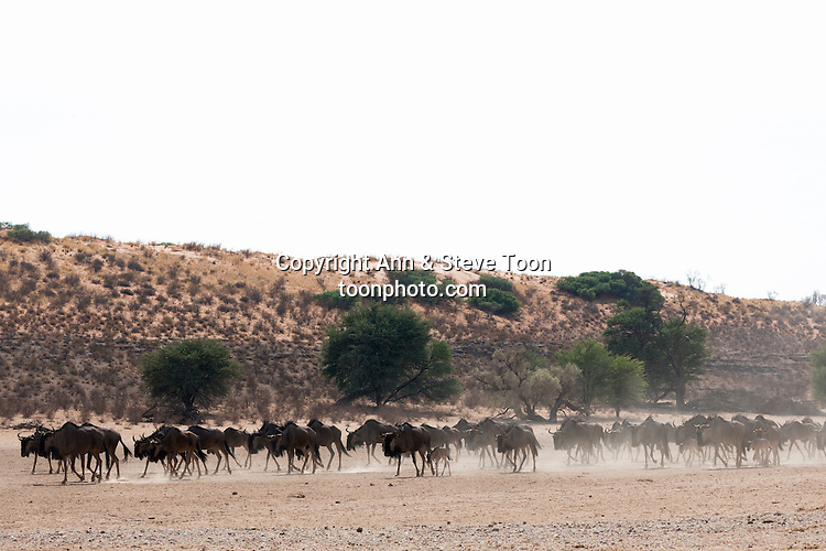 Common (blue) wildebeest (gnu), (Connochaetes taurinus) herd trekking to water in the Kalahari, Kgalagadi Transfrontier Park, Northern Cape, South Africa, January 2016