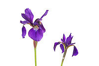 30099-00409 Blue Flag Irises (Iris versicolor) (high key white background) Marion Co. IL