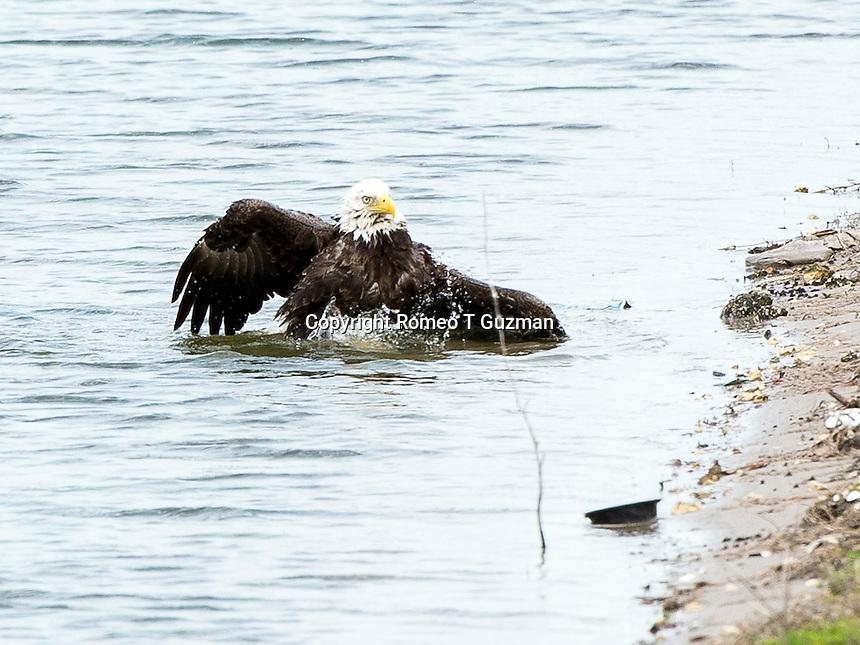 March 28, 2014: Bald eagle (Haliaeetus leucocephalus) bathes in a retention pond near the corner of Plant Street and E Crown Point Rd Ocoee, FL