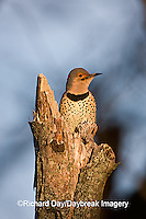 01193-01508 Northern Flicker (Colaptes auratus) male on snag, Marion Co.  IL