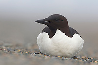 Thick-billed Murre or Brünnich's Guillemot (Uria lomvia) resting on a gravel beach. Seabirds found on the beach like this are frequently ill or distressed. Chukotka, Russia. July.