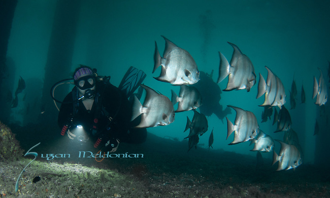 Brenda Hill at BHB  with the Spadefish, Atlantic Spadefish, Chaetodipterus faber
