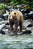USA, Alaska, grizzly bear standing on rocks, Wolverine Cove, Redoubt Bay