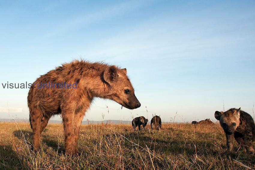 Spotted Hyena adolescent and pup (Crocuta crocuta), Masai Mara, Kenya.