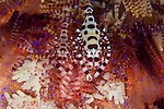 A pair of colourful Coleman Shrimp, Periclimenes colemani, Komodo National Park