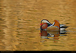 Mandarin Duck, Male Drake, Franklin Canyon, Southern California