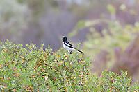 Pied Honeyeater, Arid Lands Botanic Garden, Pt Augusta, SA, Australia