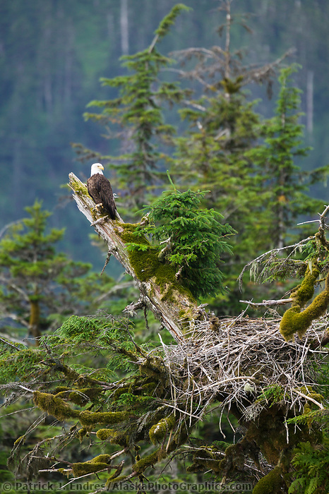 Bald eagle perched on a branch in a tree by its nest, Western Prince William Sound, Alaska