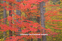 64776-01414 Red tree and fall color Schoolcraft County Upper Peninsula Michigan