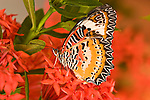 SE Asia, Thailand, Nam Nao National Park,The Leopard Lacewing (Cethosia methypsea).