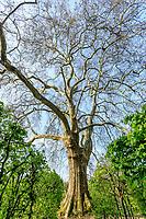France, Sarthe (72),  Poncé-sur-le-Loir, jardin du château de Poncé en avril,  labyrinthe de charmille datant de la Renaissance et vieux platane au centre