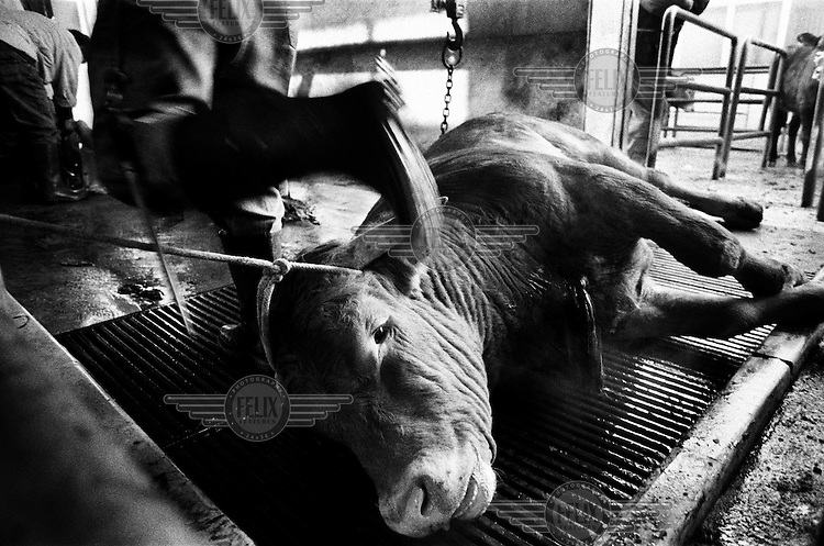 A bull bleeds into a drain at an abattoir moments after its jugular vein has cut.