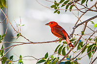 This beautiful bird is a male Summer Tanager. Tanagers make up the second largest family of birds. While usually found in the southeast U.S., they have been showing up in the West and Colorado recently.