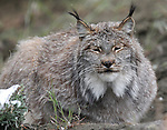 A Canada lynx sits in its enclosure at the Animal Ark in north Reno, Nev, on Tuesday, May 17, 2011..Photo by Cathleen Allison
