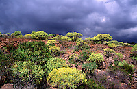 Bushes before storm near to Teide, Tenerife, Spain, Europe