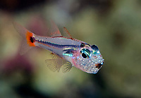 Redspot Cardinalfish, Apogon parvulus, male, mouthbrooding eggs, Alotau, Milne Bay, Papua New Guinea, Pacific Ocean