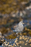 Surfbirds along the shores of Channel Island, Prince William Sound, southcentral, Alaska