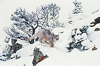 Mountain Lion or cougar (Puma concolor) on very cold and snowy--very fine flakes--morning, Western U.S., winter.