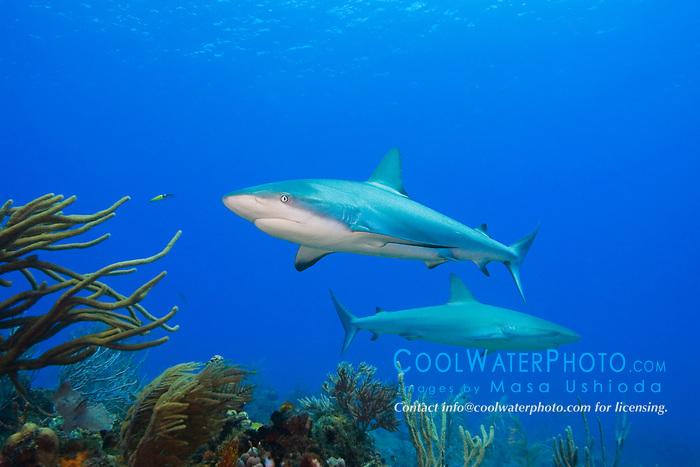 Schooling Gray Snappers, Lutjanus griseus, over coral reef, West End, Grand Bahamas, Atlantic Ocean