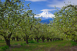 Hood River County, OR       <br /> Pear orchard in blossom with Mt. Hood in the distance, Hood River Valley