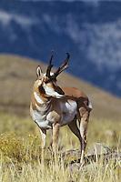 Pronghorn antelope buck (Antilocapra americana)