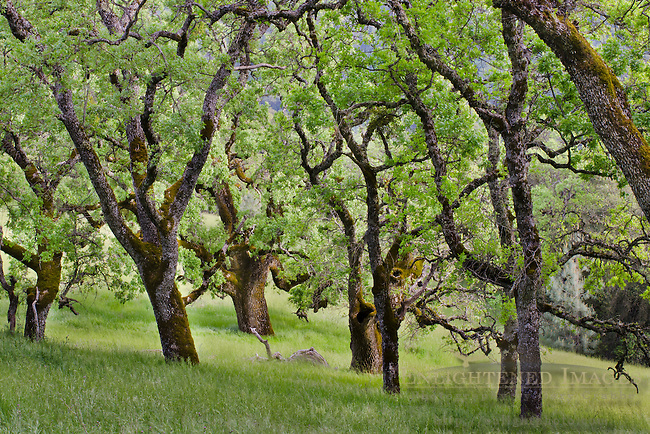Oak Trees in Spring, Henry Coe State Park, California