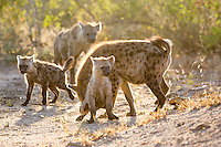 Spotted Hyenas in the Timbavati, South Africa