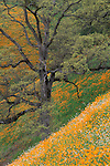 Golden poppies, oak tree, and white wildflowers bloom in spring on green grass hillside near Jackson, Amador, California