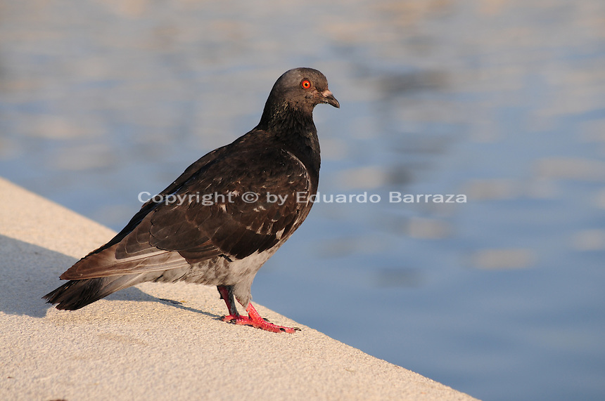 Tempe, Arizona. A pigeon standing on a concrete barrier of Tempe Town Lake. Pigeons an other birds are a regular sight at the lake. Photo by Eduardo Barraza © 2015