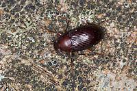 Schwarzkäfer, Dunkelkäfer, Nalassus spec., Darkling beetle, Tenebrionidae, Darkling beetles