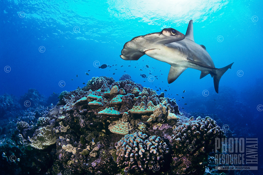 A digital composite of a scalloped hammerhead shark, Sphyrna lewini, swimming over hard coral reef, Hawai'i.