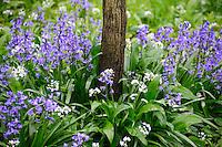 Ramsons, Allium ursinum, or Wild Garlic and Bluebells, Torquay, Devon.