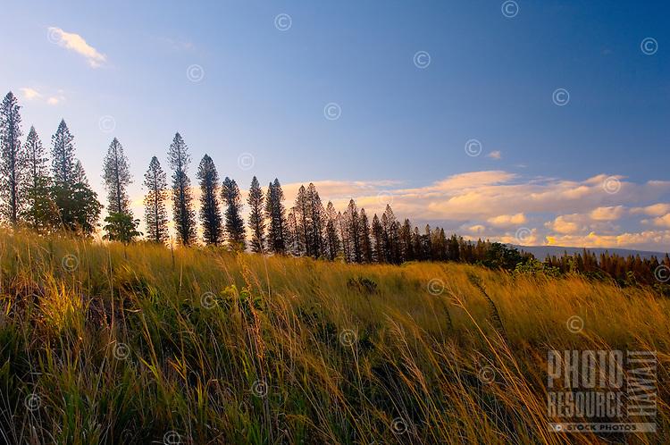Cook Pine Trees, Kapalua, Maui