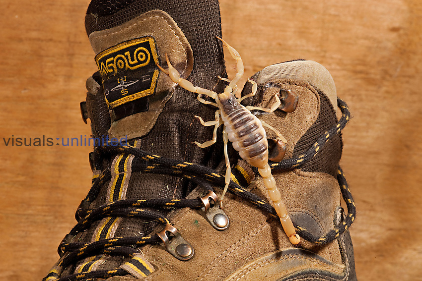 Desert Hairy Scorpion on a shoe (Hadrurus arizonensis). Captive