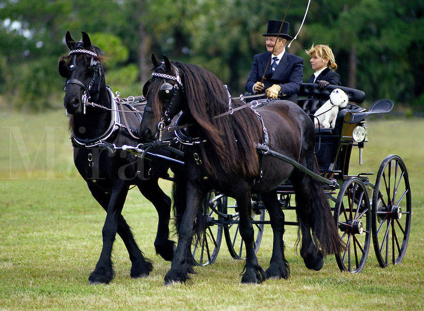 "Gentleman """"whip"""" driving two in hand team of Friesian horses during competition."