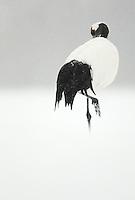Japanese Crane (Grus japonensis) preening; Hokkiado, Japan, February 2015